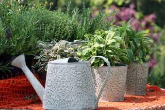 restore drive mediterranean herb