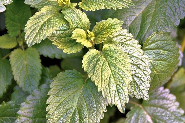 lemon balm - melissa herb