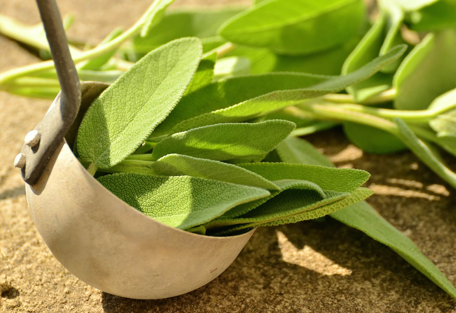 Sage (Salvia officinalis)- natural healing herbs